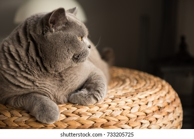 Elegant British Short Hair cat sitting on top of a wicker stool in a bedroom in Edinburgh, Scotland, UK, looking away with a relaxed and comfy manner