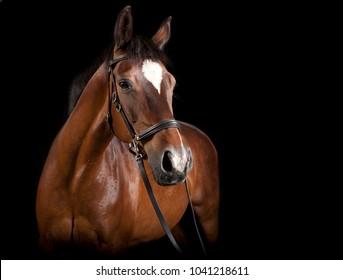Ein elegantes braunes Pferd im Studio vor schwarzem Hintergrund