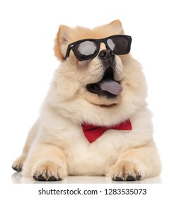 elegant chow chow wearing sunglasses looks up to side while relaxing on white background and panting