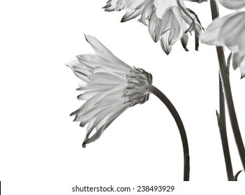 Elegant daisy flowers on white background - black and white treatment.