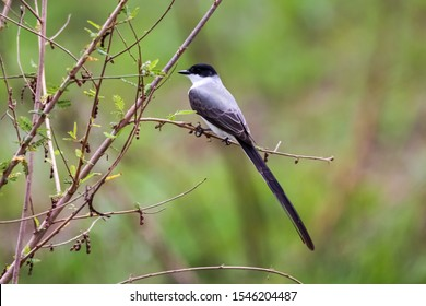 Elegant Fork-tailed Flycatcher perched on a tiny branch against green defocused background, Pantanal Wetlands, Mato Grosso, Brazil