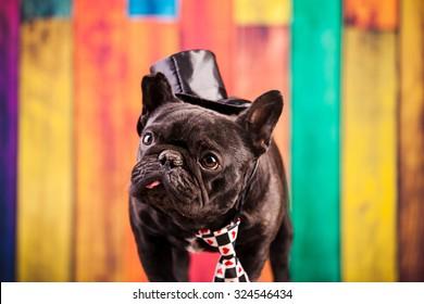 elegant french bulldog with necktie