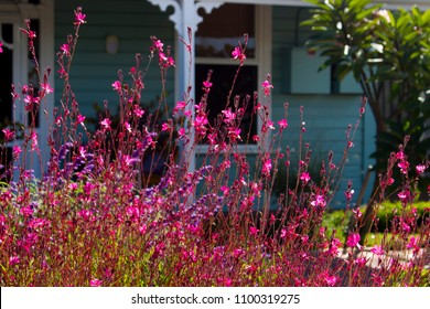 Elegant gaura species of Australian Butterfly Bush with pink flowers in bloom in late autumn adds charm to the cottage garden land scape attracting butterflies and bees.