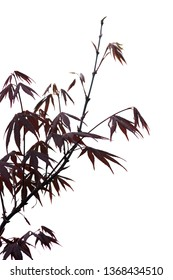 Elegant Japanese zen style bamboo tree with red leaves background isolated on white