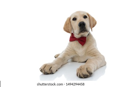 elegant labrador retriever puppy wearing red bowtie is lying down on white background