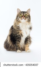Elegant longhaired cat sitting and looking up