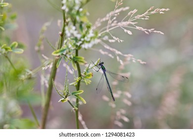 An elegant metallic green damselfly holding on a stem of a meadow herb.