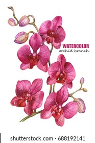 Elegant orchid branch. Orchid blossom. Watercolor illustration on white background.