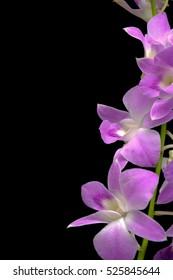 Elegant pink & white orchids isolated on black background
