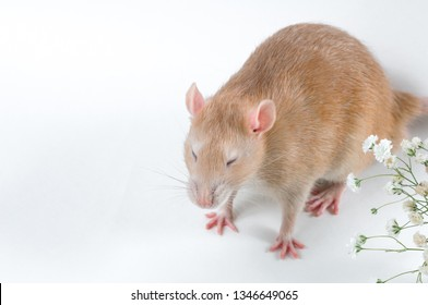 elegant rat of red color closed her eyes on a white background next to small white flowers