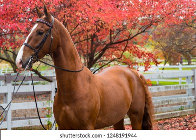 An elegant red bay saddlebred horse against a red fall background and white wooden fenced paddock.