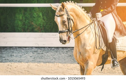 Elegant rider woman and cremello or pearl horse. Beautiful girl at advanced dressage test on equestrian competition. Professional female horse rider, equine theme. Saddle, bridle, boots and other deta