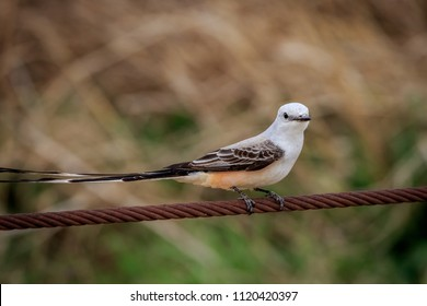 An elegant Scissor-tailed Flycatcher (Tyrannus forficatus) sitting on a wire.