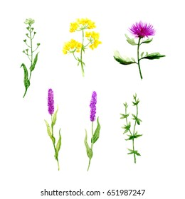Elegant set of individual elements from meadow grasses and flowers. Watercolor illustration.
