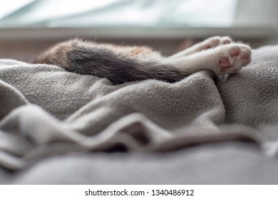 Elegant, slender paws on a soft gray plaid of a young sleeping cat, in natural light, which comes from the window. Close-up.