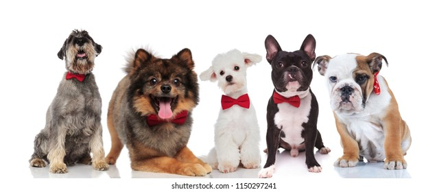 elegant team of five cute dogs of different breeds with bowties sitting and lying on white background