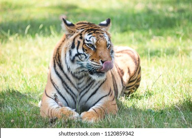 Elegant tiger with licking tongue in summer nature safari park, Bengal Tigers in the zoo in natural landscape.