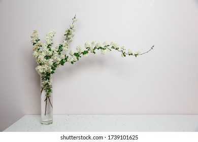 Elegant twig of beautiful spring tiny white flowers spirea in glass vase, white background, isolated