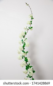 Elegant twig of beautiful spring tiny white flowers spirea on white background, view from above, isolated