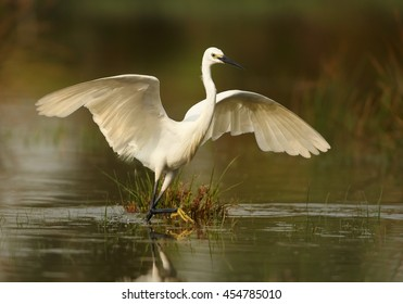 Elegant white Little Egret, Egretta garzetta catching fish. Bird in water from front view, with outstretched wings, mirrors itself in water.  Wetland Camargue, France.