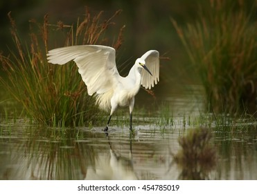 Elegant white Little Egret, Egretta garzetta catching fish. Bird in water from side view, with outstretched wings, mirrors itself in water.  Wetland Camargue, France.