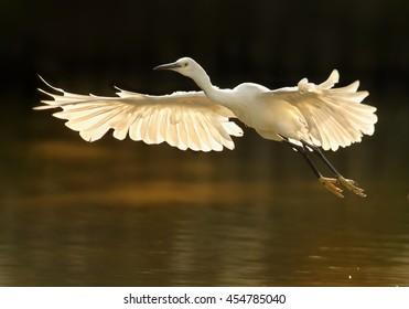 Elegant white Little Egret, Egretta garzetta in flight. Bird with outstretched wings in backlight against dark background. Wetland Camargue, France.