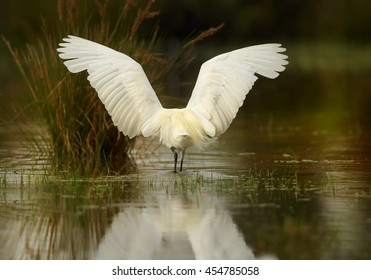 Elegant white Little Egret, Egretta garzetta catching fish. Bird in water from rear view, with outstretched wings, mirrors itself in water. Wetland Camargue, France.