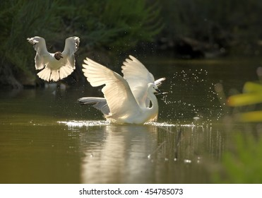 Elegant white Little Egret, Egretta garzetta with fish in beak, chased by seagull. Bird in water from side  view, with outstretched wings. Wetland Camargue, France.