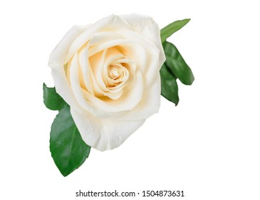 Elegant white rose flower with leaves isolated on white background. Clipping path