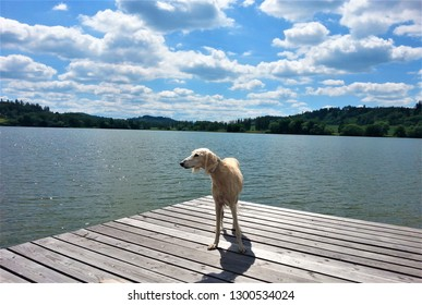 Elegant white saluki greyhound dog on a jetty, a sunny summer holiday day at the lake surrounded by green forests, white clouds in the blue sky, Sumava - Czech Republic, dog breeding