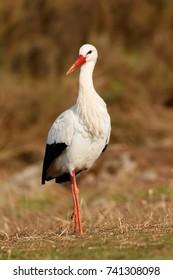 Elegant white stork walking in the field