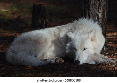 Elegant White Wolf In A Remote Location