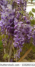 Elegantly hanging down Wisteria violet flower racemes. Wisteria vine flower clusters in full bloom. Long, pendulous trusses of bitone, violet small flowers.