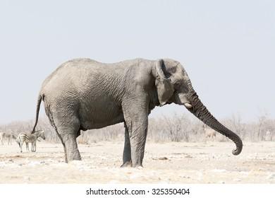 Elepant in Etosha National Park, Namibia, Africa