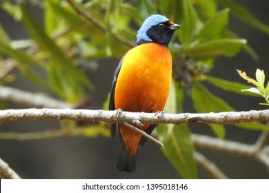 Elepant Euphonia bird from Costa Rica (Euphonia elegantissima)