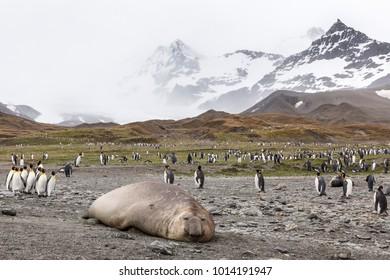 Elepant seal and king penguins at St Andrews Bay, South Georgia Island