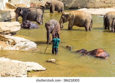 Elepants Bathing in River in the Pinnawela Elephant Orphanage in Pinnawela, Sri Lanka.