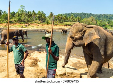 Elepants Bathing in River in the Pinnawela Elephant Orphanage in Pinnawela, jungle Sri Lanka.