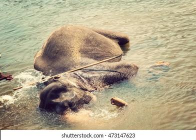 Elepants Bathing in River in the Pinnawela Elephant Orphanage in Pinnawela, Sri Lanka. vintage nature background