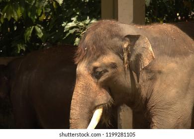Elephan at the bukittinggi zoo, Indonesia