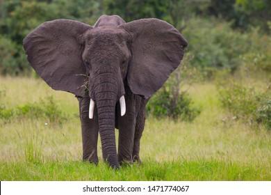 Elephan showing its big ears looking towards you in Masai Mara savannah Kenya.