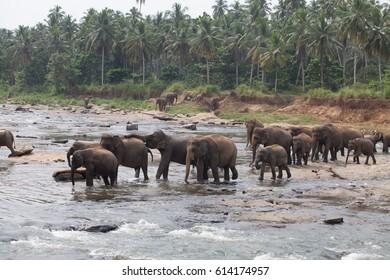 Elephans