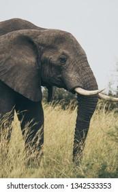 Elephans inUgandan savana