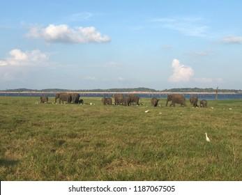 Elephans in Shri Lanka