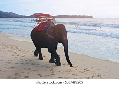 elephans for tourist ride walking on the ocean beach in Bang Tao Beach Phuket Thailand
