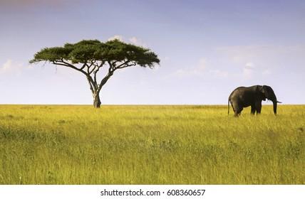 Elephant and Acacia Tree Landscape in Serengeti National Park, Tanzania, Africa