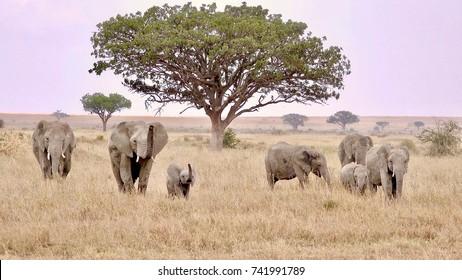 elephant, african elephant family, sunset, Serengeti, Tanzania, Africa