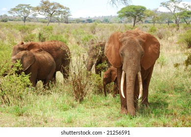 Elephant in African Serengeti