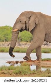 Elephant, African - Wildlife Background - Walk of Power