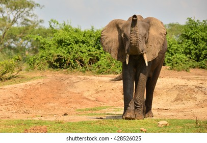 Elephant in Amboseli National park of Kenya, Africa